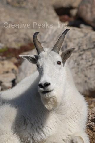 goat002s.jpg