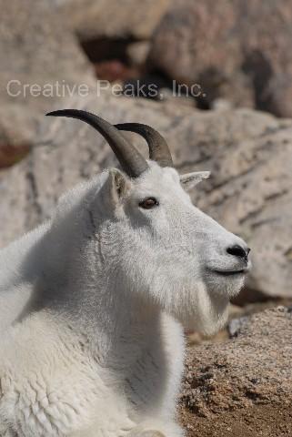 goat004s.jpg