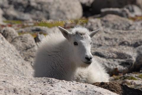goat005s.jpg