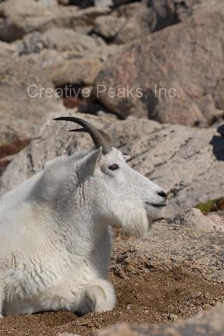 goat007s.jpg