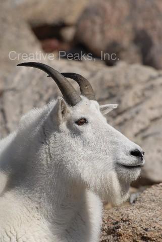 goat009s.jpg