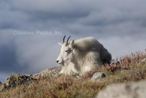 goat011s.jpg