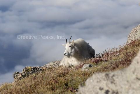 goat012s.jpg