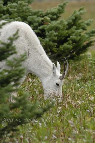 goat021s.jpg