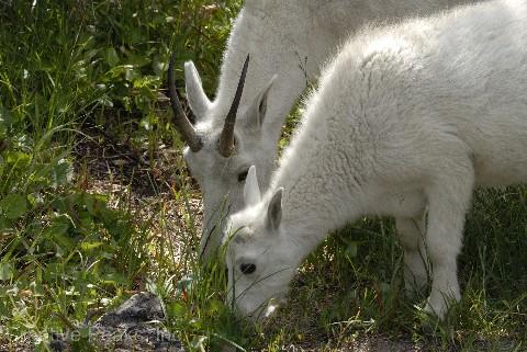 goat019s.jpg