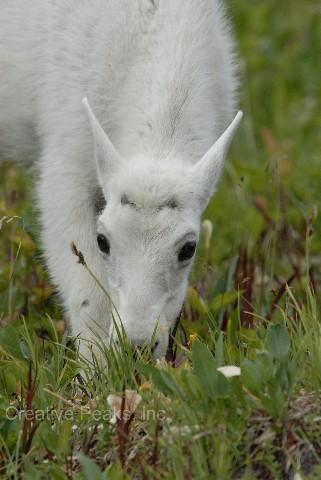 goat020s.jpg