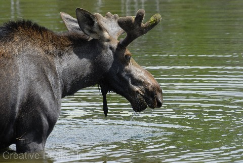 moose006s.jpg